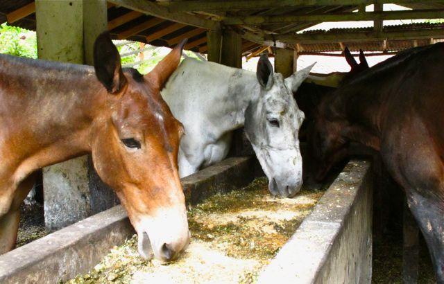 Mules eating