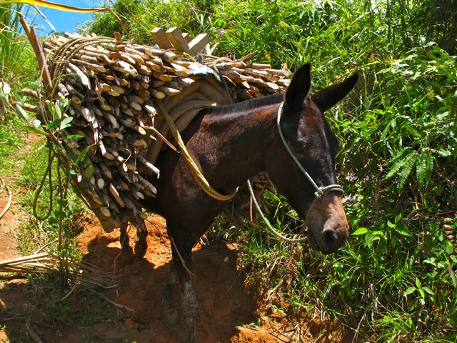 Mule carrying sugar cane