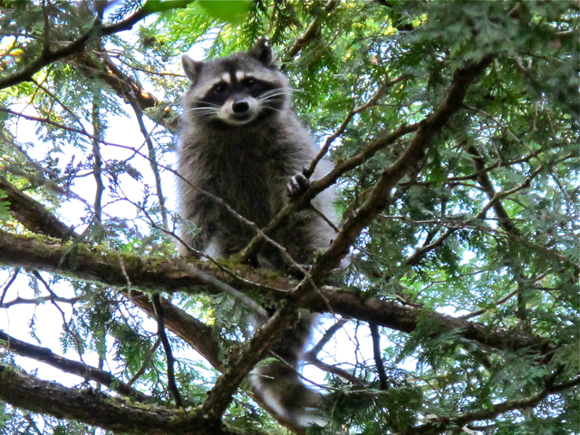 Canadian Wildlife: racoon