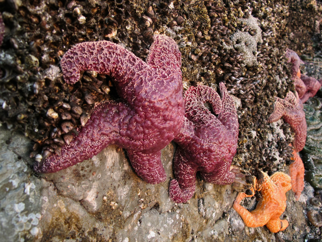 Canadian Wildlife: starfish