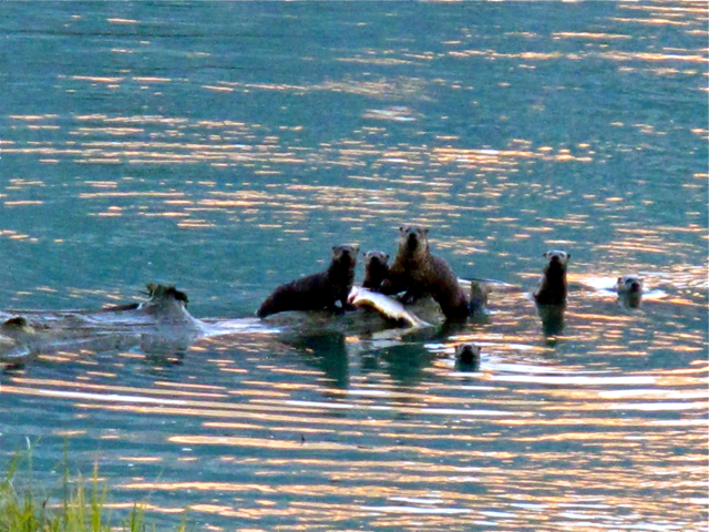 Canadian Wildlife: otters