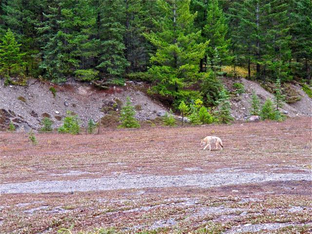 Canadian Wildlife: coyote