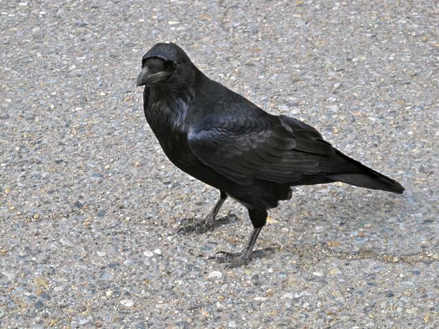 Canadian Wildlife: raven