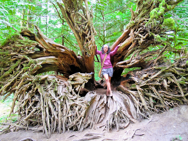 Roots from a fallen tree in Cathedral Grove, Vancouver Island BC (Canada)