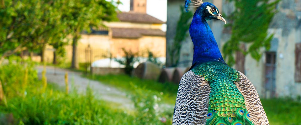 Peacock in Parma, Italy