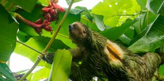 Perezo en el EcoCentro Danaus en La Fortuna, Costa Rica