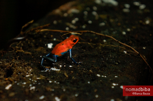 Strawberry poison-dart frog at EcoCentro Danaus in La Fortuna, C