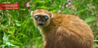 Female blue-eyed black lemur in Apenheul (Apeldoorn), Netherland