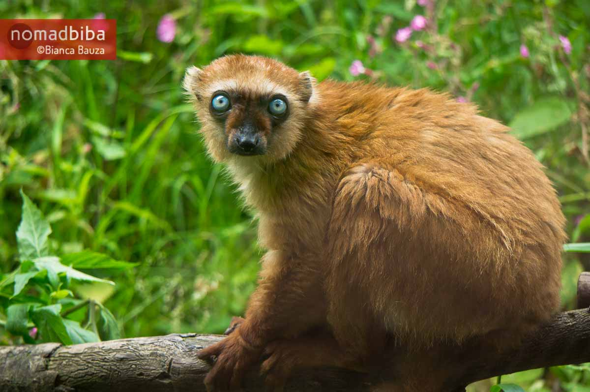 Female blue-eyed black lemur in Apenheul (Apeldoorn), Netherland