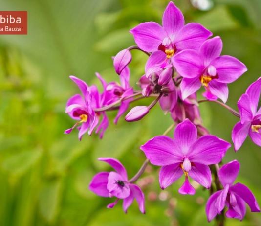 Orchids in La Fortuna (Costa Rica)
