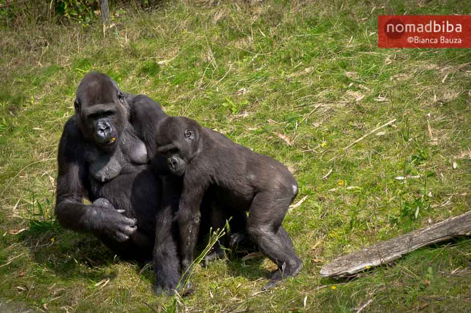 Gorillas at the Apenheul in the Netherlands