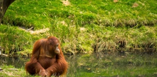 Orangutan at the Apenheul in the Netherlands