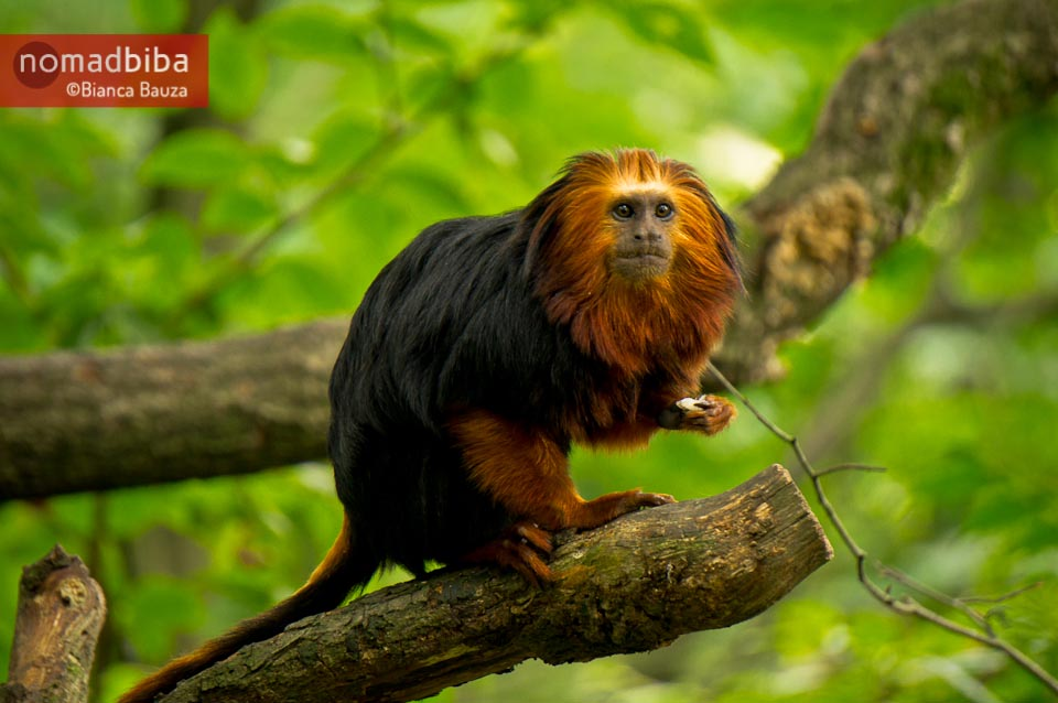 Golden-headed lion tamarin at the Apenheul in the Netherlands