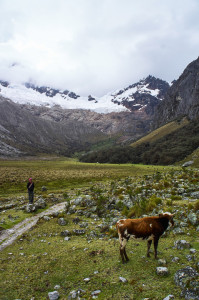 Me hanging out with a cow at the Santa Cruz trek in Peru
