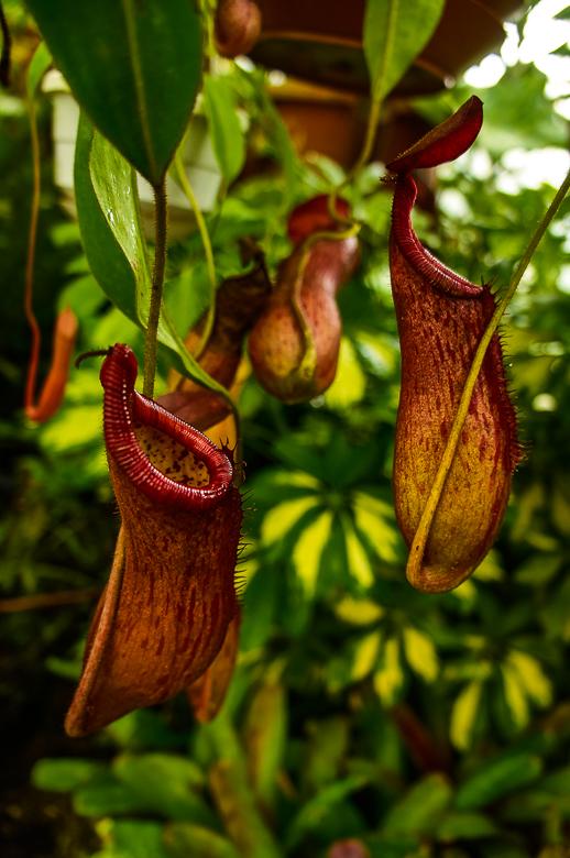 Carnivorous plant at Quito Botanical Garden in Ecuador