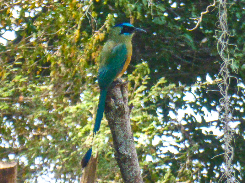 A beautiful motmot on the trail from Barichara to Guane in Colombi