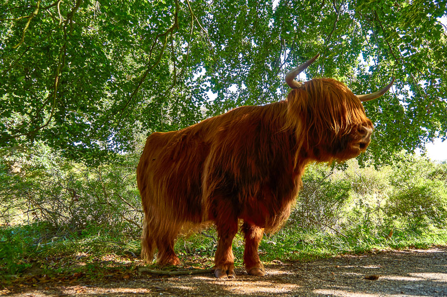 Highland cattle at the Zuid-Kennemerland National Park in the N