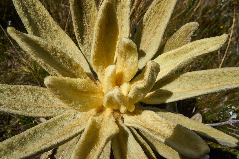 Frailejon in the Santuario de Flora y Fauna Iguaque in Colombia