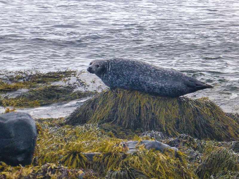 Seal at Ytri Tunga Beach in Iceland