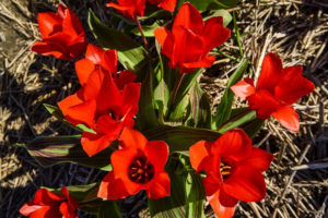 Red tulips near Emmeloord in the Netherlands