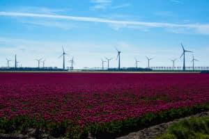 Purple tulips near Emmeloord in the Netherlands