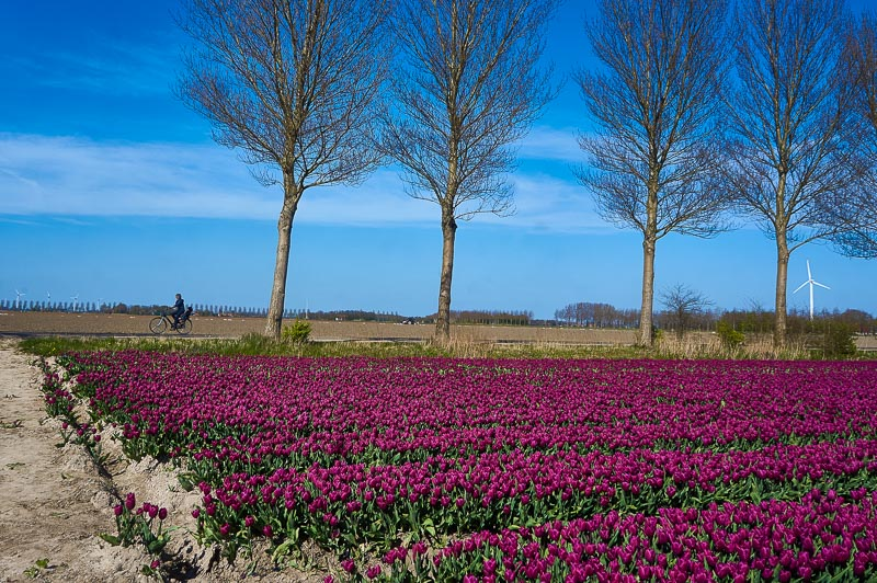 Cycling around the tulip fields near Emmeloord in the Netherland